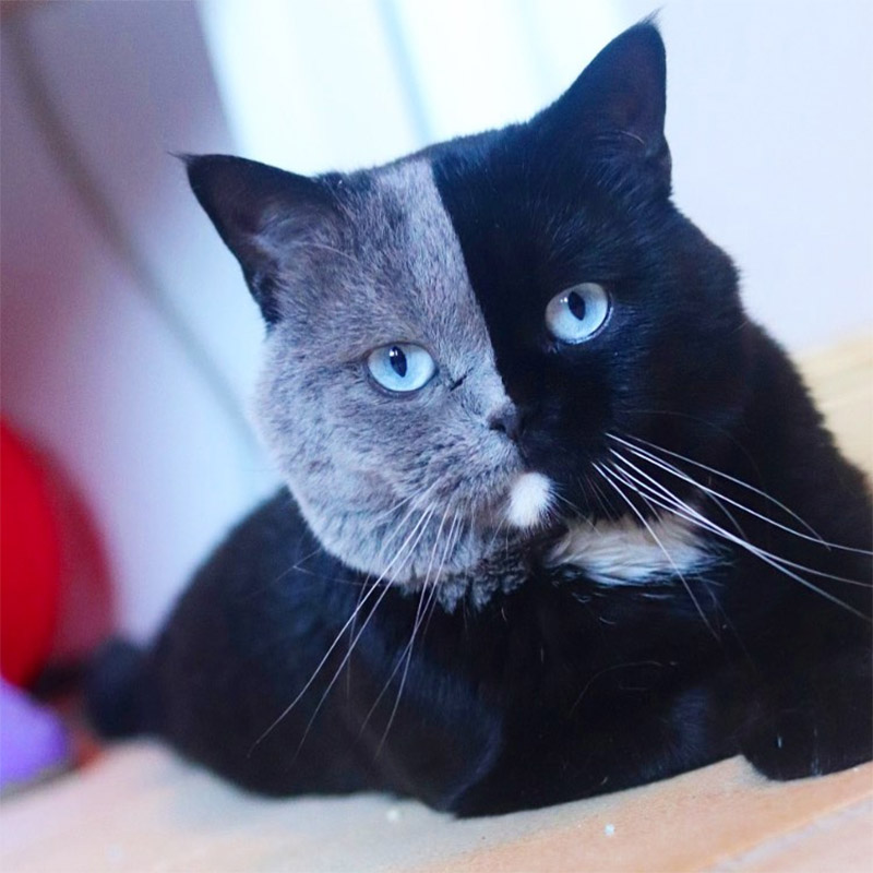 Gato cara bicolor