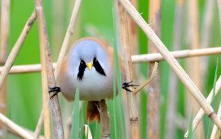 Bearded Reedling Birds