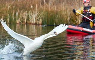 Heartwarming Moment Rescued Swan Is Reunited With Her Life Long Partner