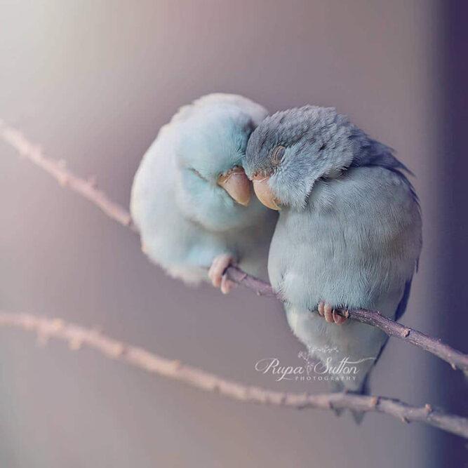Pastel Parrotlet Birds