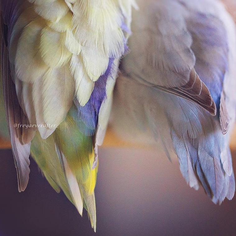 Parrotlet Birds