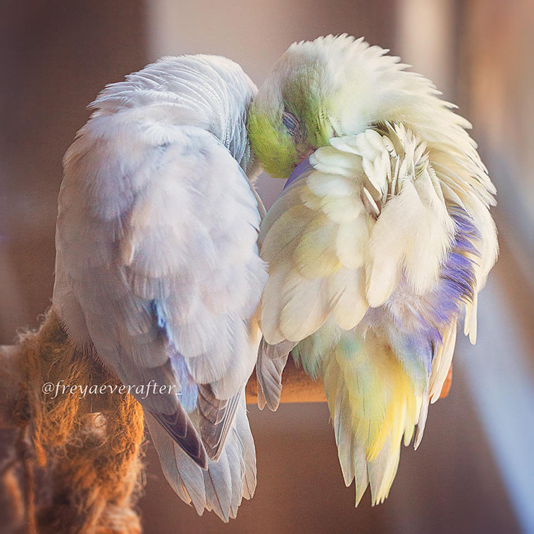 cute Parrotlet Birds