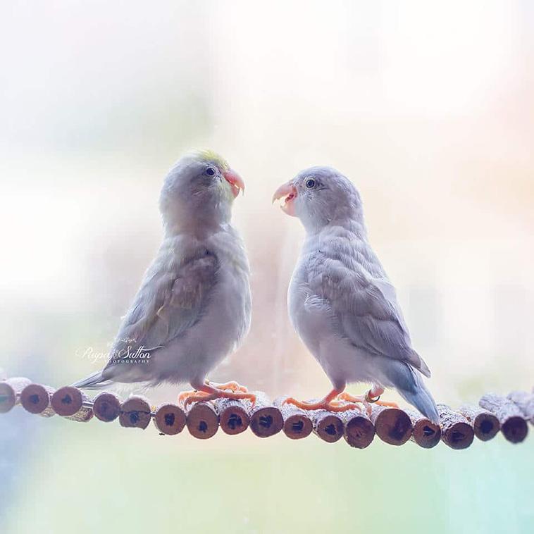 Storybook Love Between Parrotlets