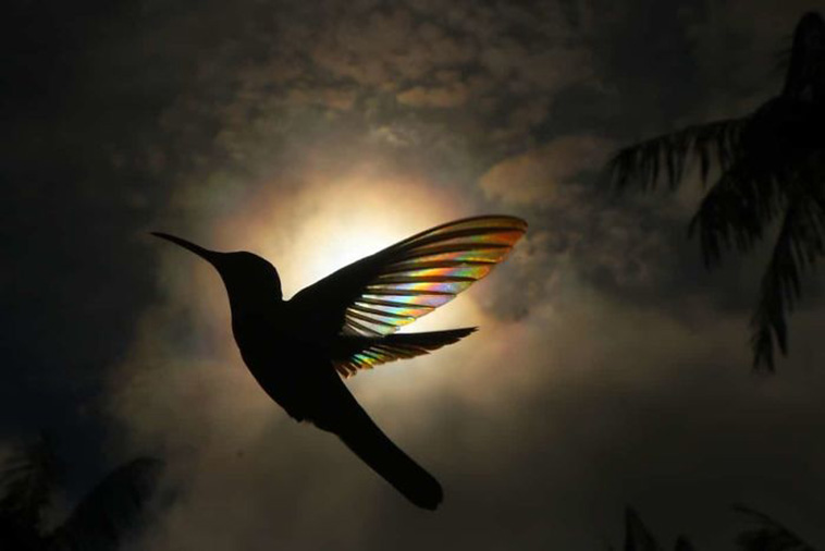 hummingbird wings