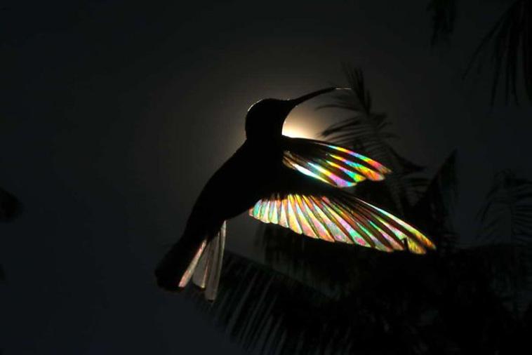hummingbird wings rainbow