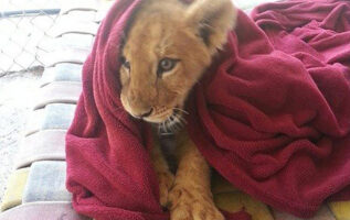 rescued-lion-sleeping-with-blanket-5