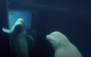 The Two Lively Beluga Whales Were Finally Rescued From The Aquarium After More Than A Decade