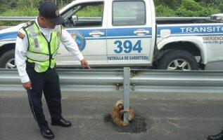 police-rescue-sloth-cross-highway-ecuador-6