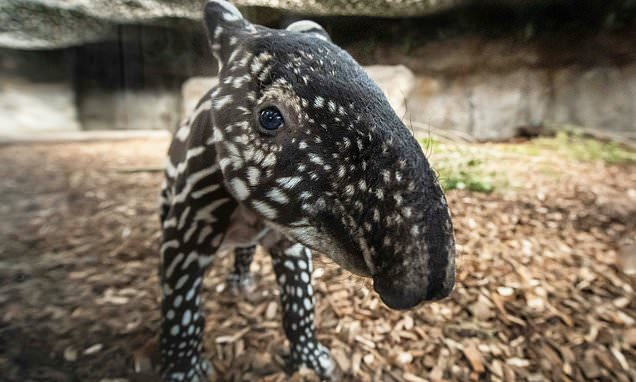 Adorable tapir calf cuddles up to it mother after becoming the second ever to be born at Chester Zoo   Daily Mail Online