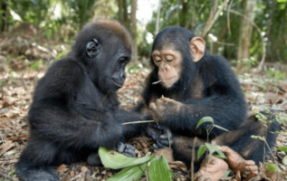 Baby Gorilla And Baby Chimpanzee Build A Special Bond, Captured By Photographer