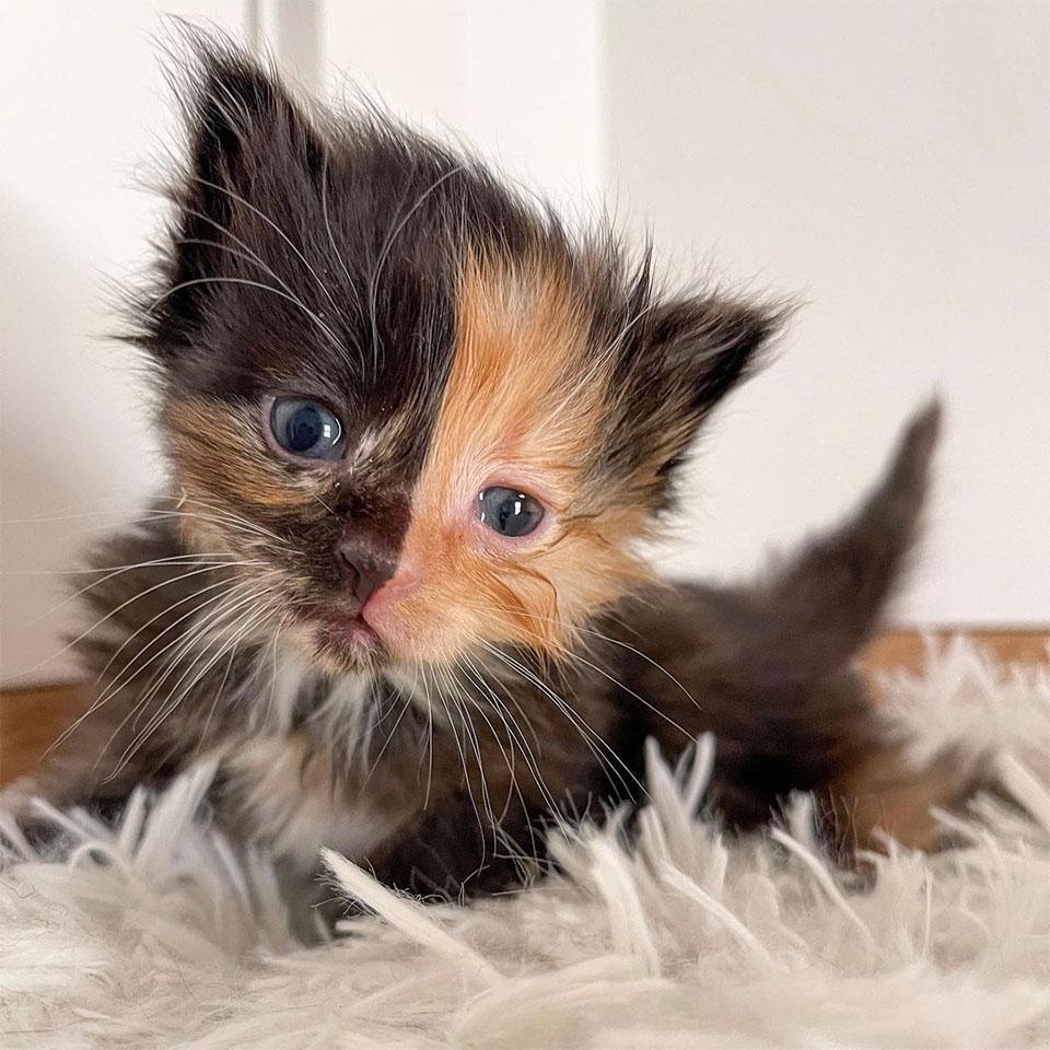 Adorable gatito quimera