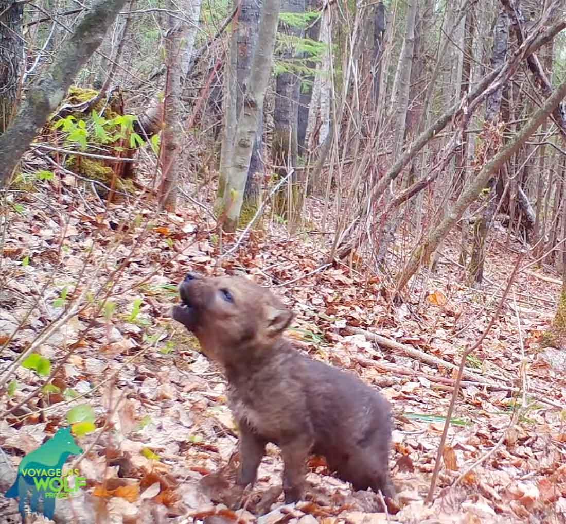Cámara de seguimiento capta primeros aullidos de un lobo