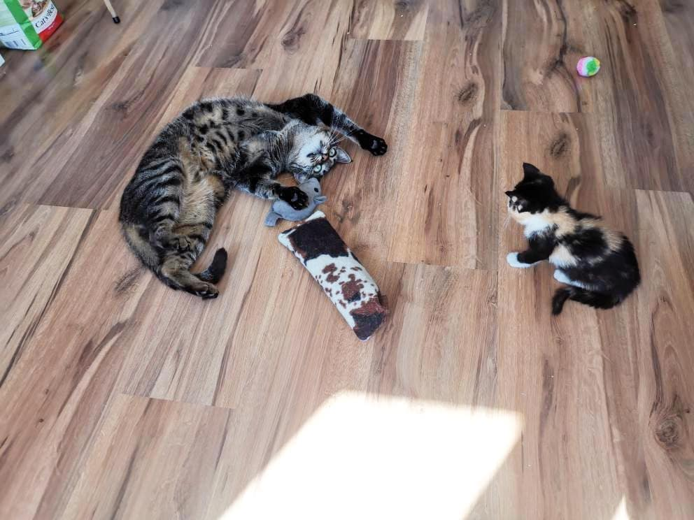 Gatos jugando en la sala