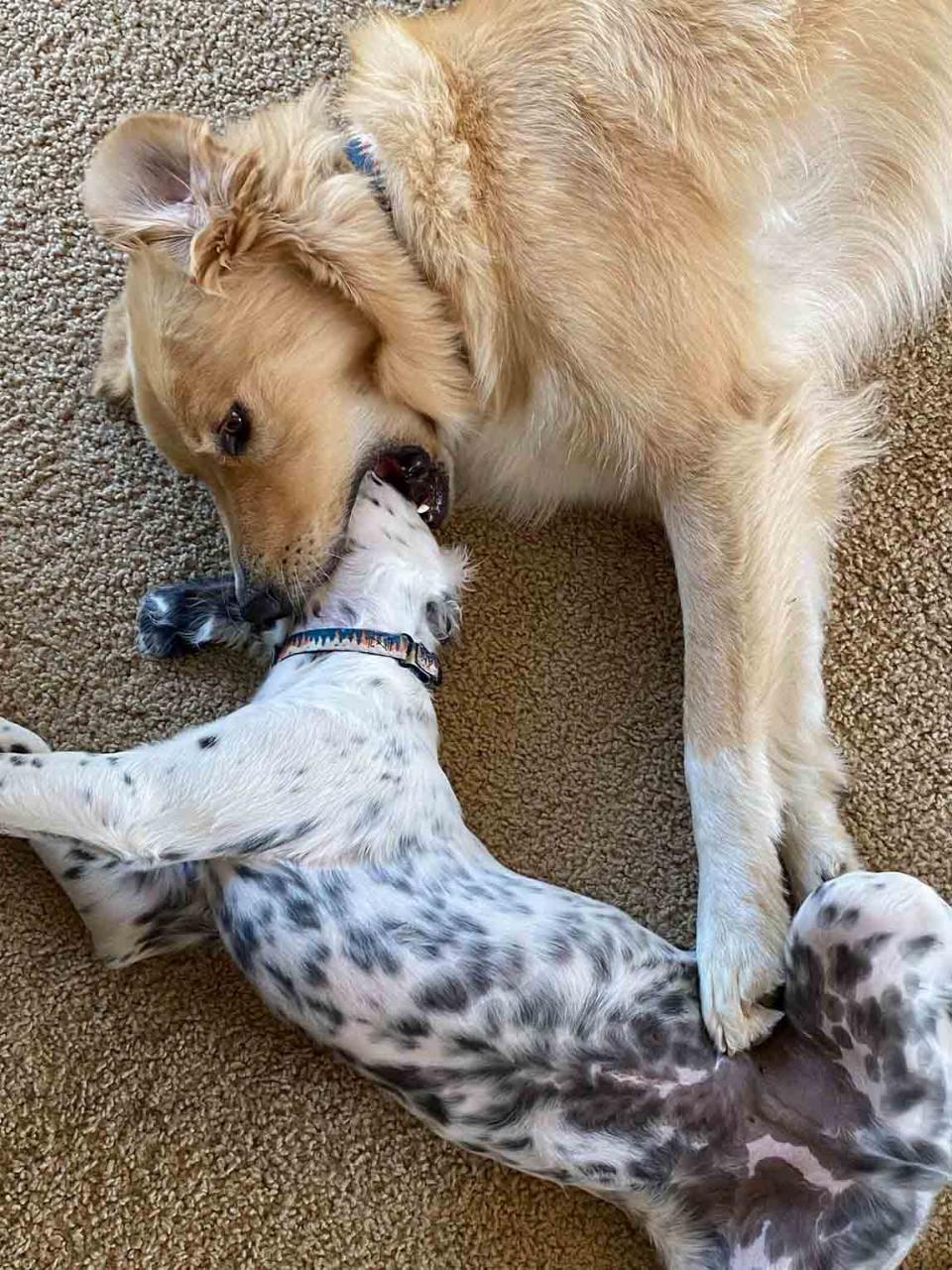 Golden Retriever sabe mantener a raya a su hermanito