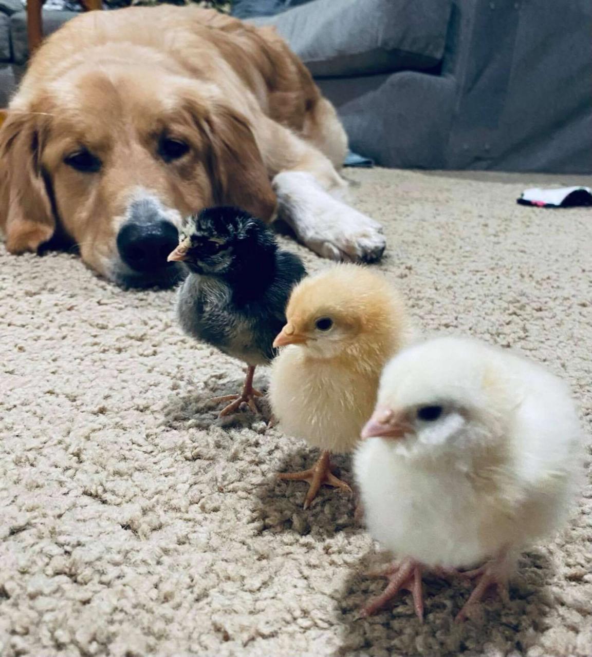 Perro cuida a pollitos
