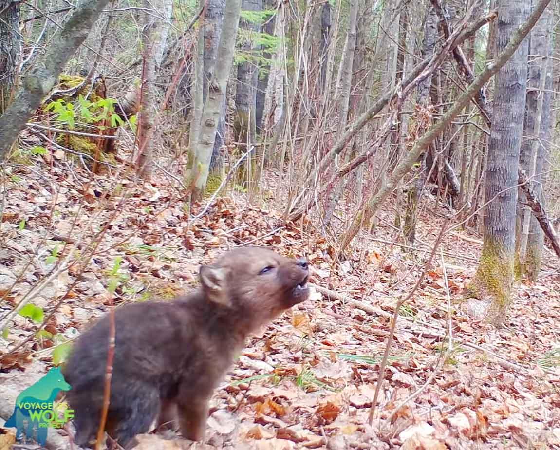 Primeros aullidos de un cachorro de lobo