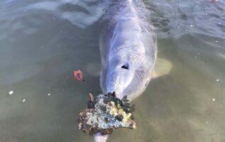 delfín lleva obsequio a cambio de comida