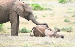 Elefantes jugando