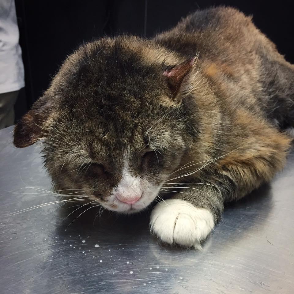 Gato que vivió mal atendido