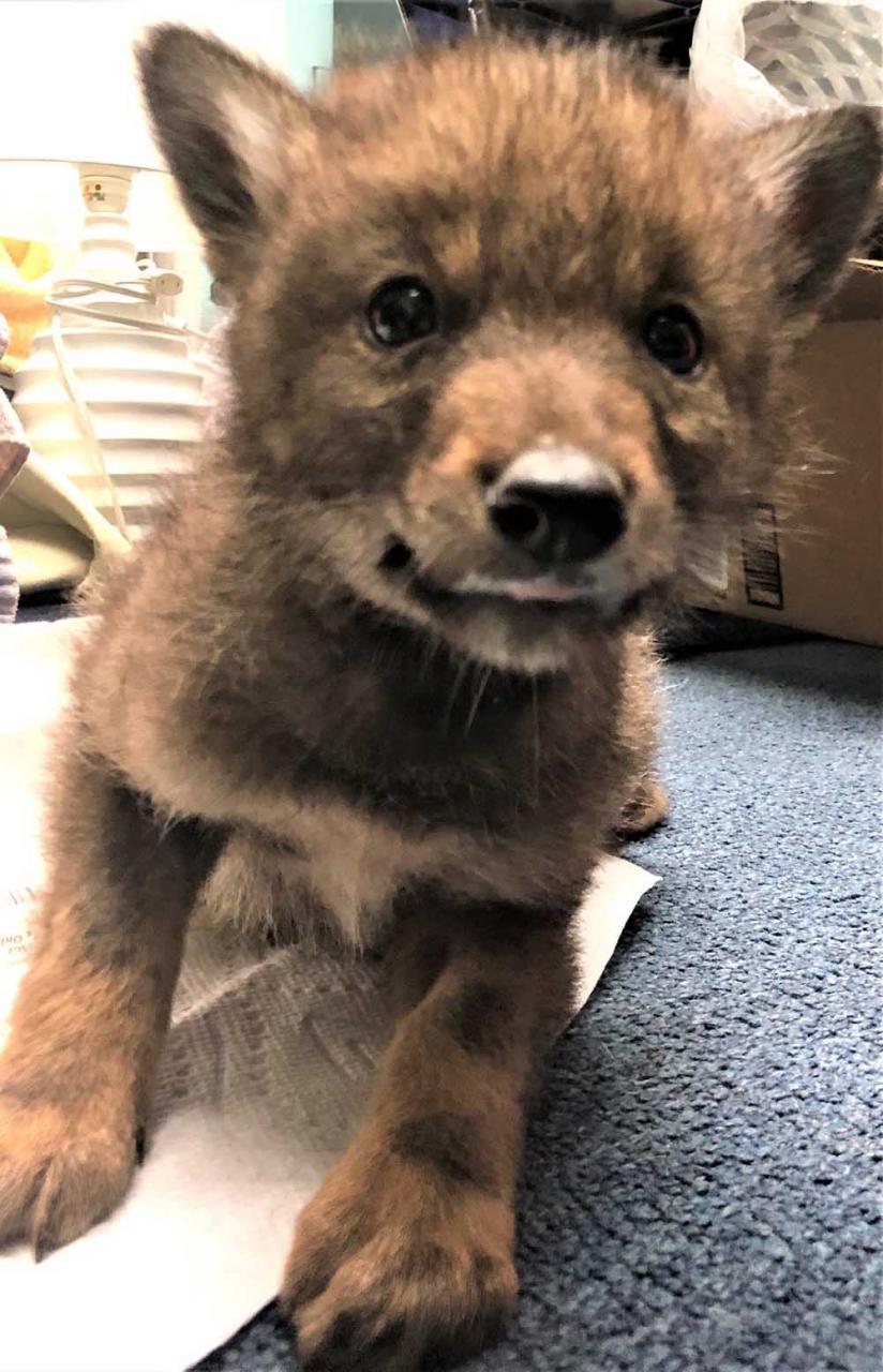Hermoso bebé coyote