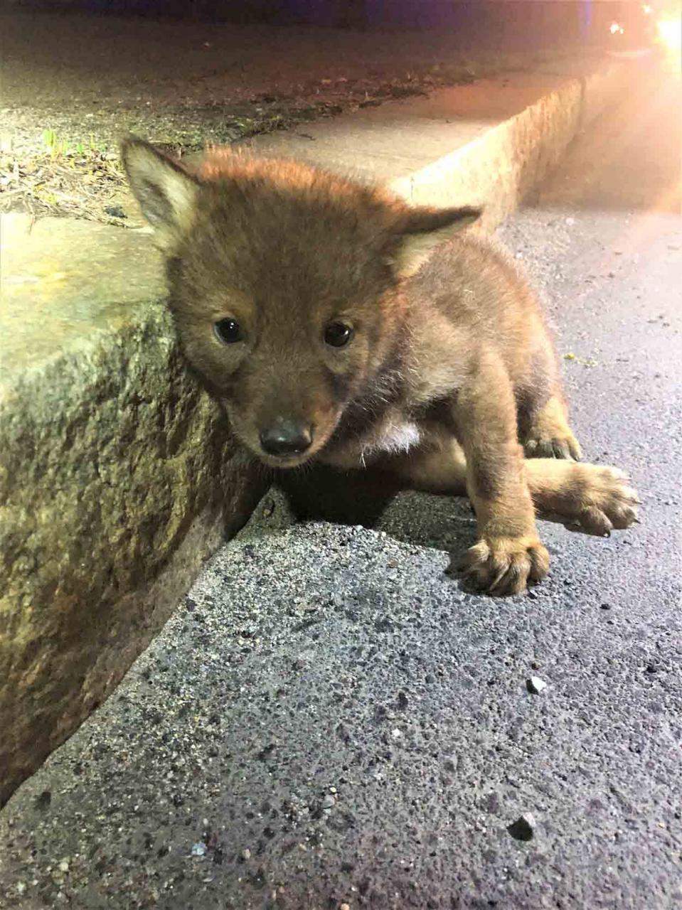 Policía ayuda a un pequeño y solitario coyote